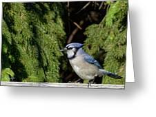 Beautiful Blue Jay Greeting Card