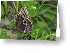 Beautiful Blue Morpho Butterfly Resting In A Garden  Greeting Card