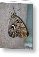 Beautiful Brown Morpho Butterfly Resting In A Butterfly Garden  Greeting Card