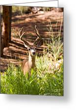 Beautiful Buck Deer In The Pike National Forest Greeting Card
