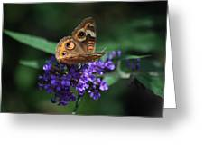 Beautiful Buckeye Greeting Card