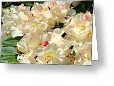 Beautiful Creamy White Pink Rhodies Floral Garden Baslee Troutman Greeting Card