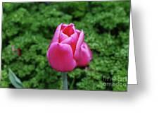 Beautiful Dark Pink Tulip Flower Blossom In A Garden Greeting Card