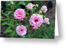 Beautiful Delicate Pink Roses On Green Leaves Background. Greeting Card