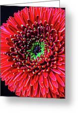 Beautiful Details Of Gerbera Daisy Greeting Card