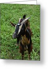 Beautiful Face Of A Billy Goat With Tan And Black Silky Fur Greeting Card