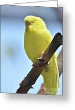 Beautiful Face Of A Yellow Budgie Bird Greeting Card