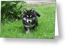 Beautiful Face Of An Alusky Puppy Dog In Thick Green Grass Greeting Card