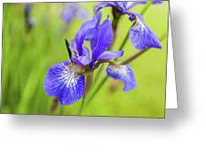 Beautiful Flower Iris Greeting Card