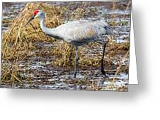 Beautiful Day For A Walk -sandhill Crane   Greeting Card