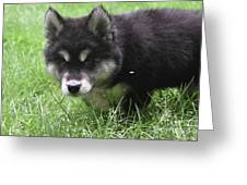 Beautiful Furry Black And White Alusky Only Two Months Old  Greeting Card