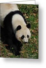 Beautiful Giant Panda Bear Walking Through A Field Greeting Card