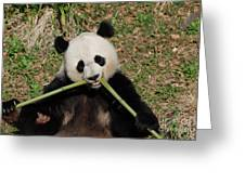 Beautiful Giant Panda Eating Bamboo From The Center Greeting Card