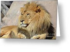 Beautiful Golden African Lion Relaxing In The Sunshine Greeting Card