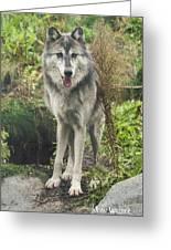 Beautiful Gray Wolf Greeting Card