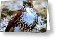 Beautiful Hawk Greeting Card