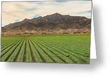 Beautiful Lettuce Field Greeting Card