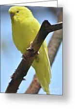 Beautiful Little Yellow Budgie Bird In Nature Greeting Card