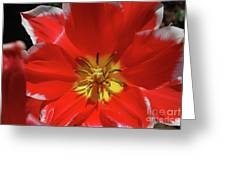 Beautiful Macro Of A Red Blooming Tulip Greeting Card