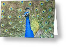 Beautiful Peacock Walking Around Greeting Card