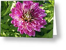 Beautiful Pink And White Dahlia Greeting Card