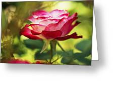 Beautiful Pink Rose Blooming In Garden Greeting Card