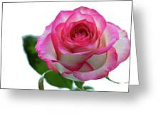 Beautiful Pink Rose With Leaves On A Wite Background. Greeting Card