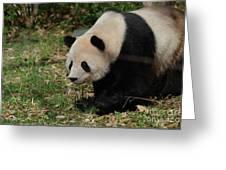 Beautiful Profile Of A Giant Panda Bear Ambling Along Greeting Card