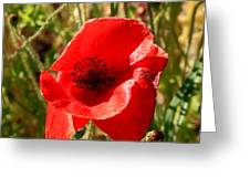 Beautiful Red Poppy Greeting Card