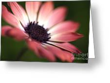 Beautiful Rich African Daisy Zion Red Flower Greeting Card