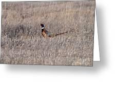 Beautiful Rooster Pheasant  Greeting Card