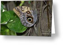 Beautiful Shot Of A Brown Morpho Butterfly Resting  Greeting Card