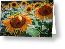 Beautiful Sunflower Field In South Carolina Greeting Card