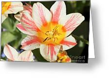 Beautiful Tulip With A Yellow Center And Pink Striped Petals Greeting Card