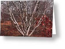 Beautiful White Birch Greeting Card