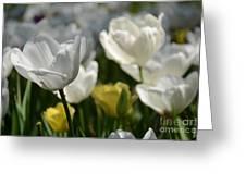 Beautiful White Tulips Greeting Card