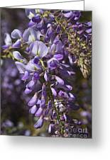 Beautiful Wisteria A Spring Delight Greeting Card