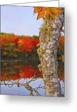 Beauty And The Birch - Nova Scotia Greeting Card