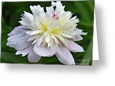 Beauty Can't Be Dampened - Festiva Maxima Double Peony Greeting Card