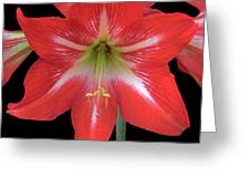 Beauty Of The Amaryllis Greeting Card