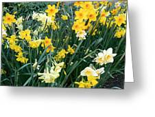 Bed Of Daffodils Greeting Card