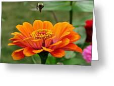 Bee Above Orange Zinnia Greeting Card