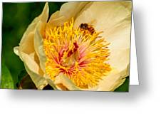 Bee And A Pale Yellow Early Glow Peony Greeting Card