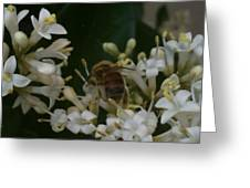 Bee And Small White Blossoms Greeting Card