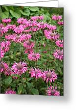 Bee Balm Beauties Greeting Card
