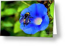 Bee Covered With Pollen On Morning Glory 3521t Greeting Card