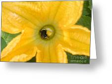 Bee In Squash Blossom Greeting Card