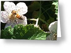 Bee On Blackberry Blossom Greeting Card