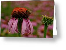 Bee On Echinacea Greeting Card