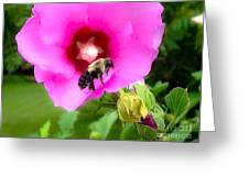 Bee On Edge Of A Hibiscus Flower Greeting Card